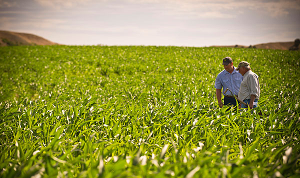 farmers inspecting a crop
