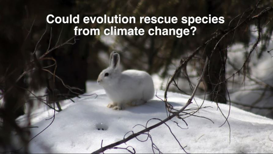 Video - Color molting species and climate change:  Better than a Snowball's Chance