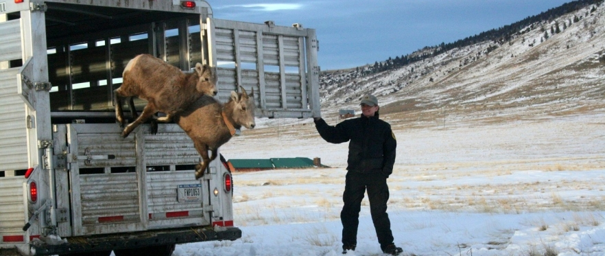 Update from lab alumnus Julie Cunningham – snowshoe hares and bighorn sheep