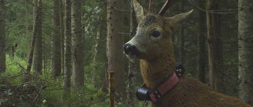 "Special Seminar by Robin Sandfort next week- ""Hiding in the woods – the European Roe deer"""
