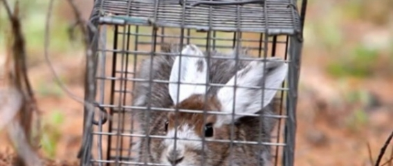 Snowshoe hare research video