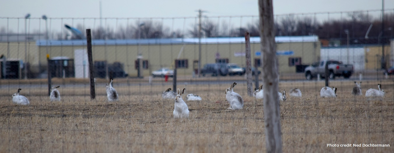 Scott's spring 2015 university talks & mismatched white-tail jackrabbits in North Dakota
