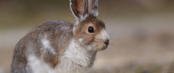 Media coverage of our snowshoe hare work
