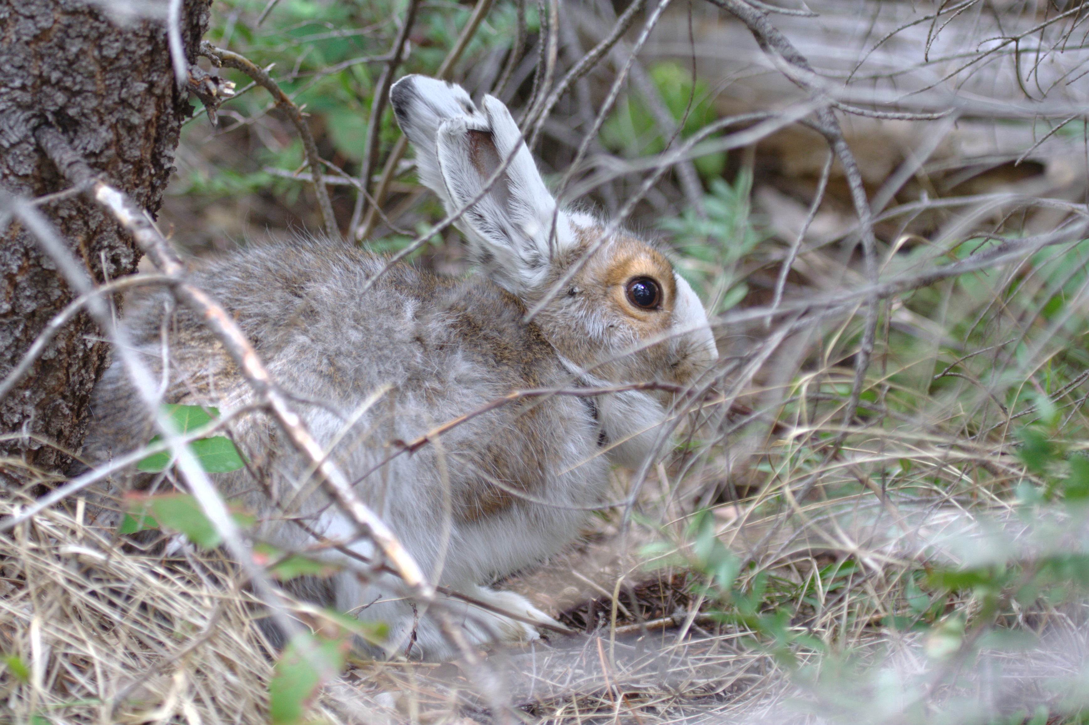 New publication from Alex Kumar: Camouflage mismatch occurs despite snow triggering hares to turn white sooner