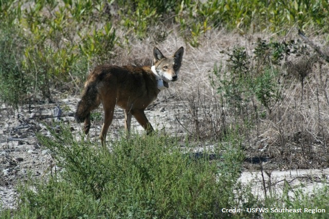 Recent media coverage – snowshoe hares and red wolves