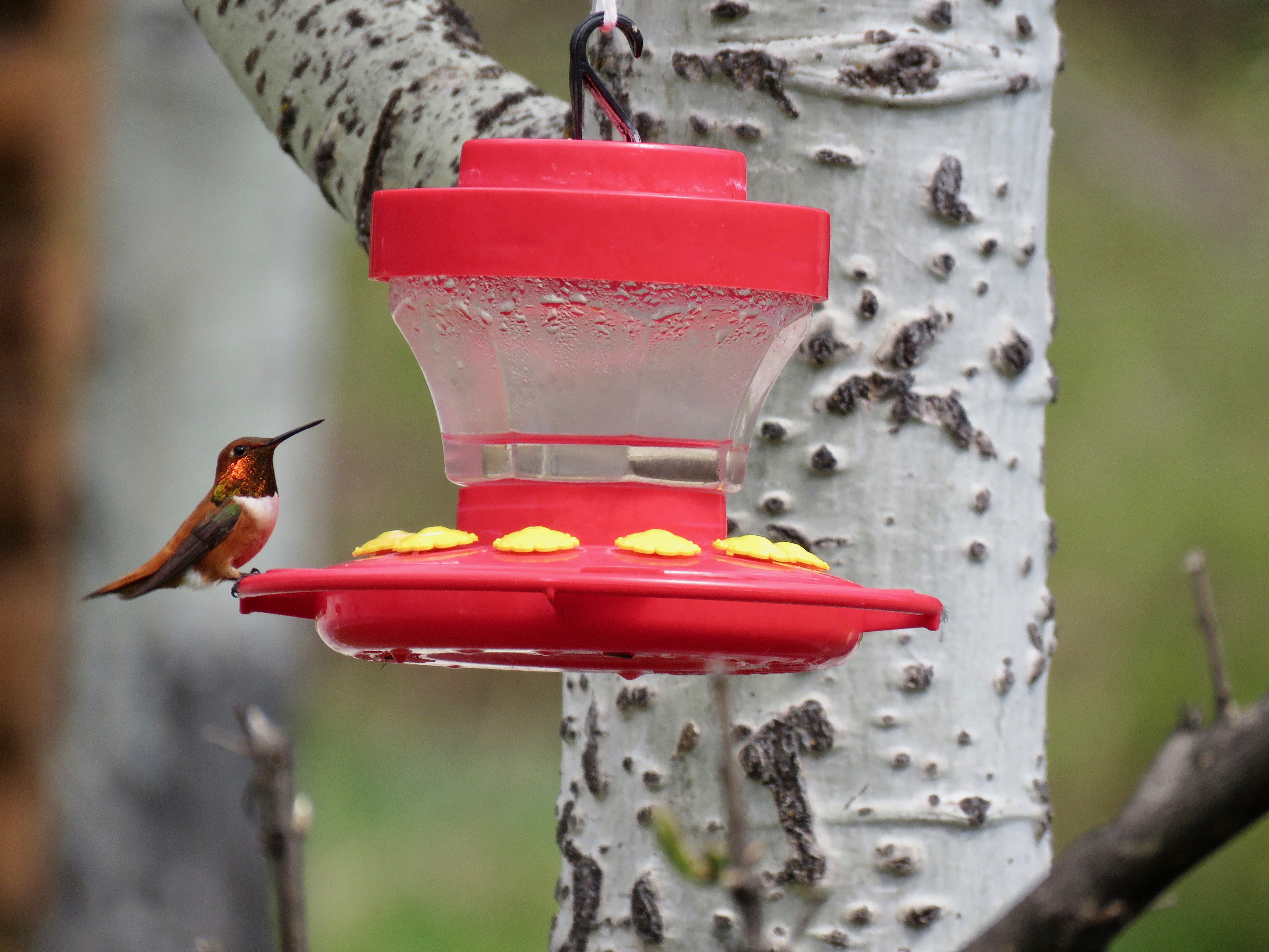 Jewels of the Sky: Hummingbirds of Western Montana