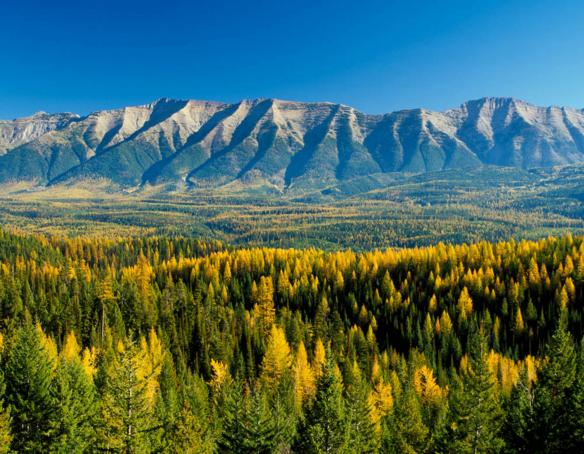 Larch trees turn yellow in a heavily forested valley beneath the Swan Mountains.