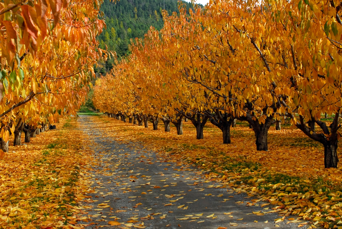 Flathead cherry trees dressed in their autumn finest (Photo by Rick and Susie Graetz)