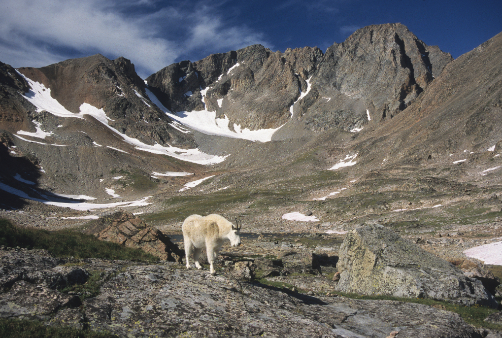 A mountain goat roams the Sky Top drainage below the south face of 12,799-foot Granite Peak – Montana's highest summit located in the Beartooth Mountains. (Photo by Rick and Susie Graetz)