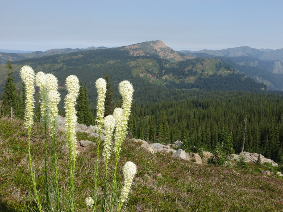 Bear grass grows in a slice of the Great Burn on the Montana-Idaho border. (Photo courtesy of the Montana Wilderness Association)