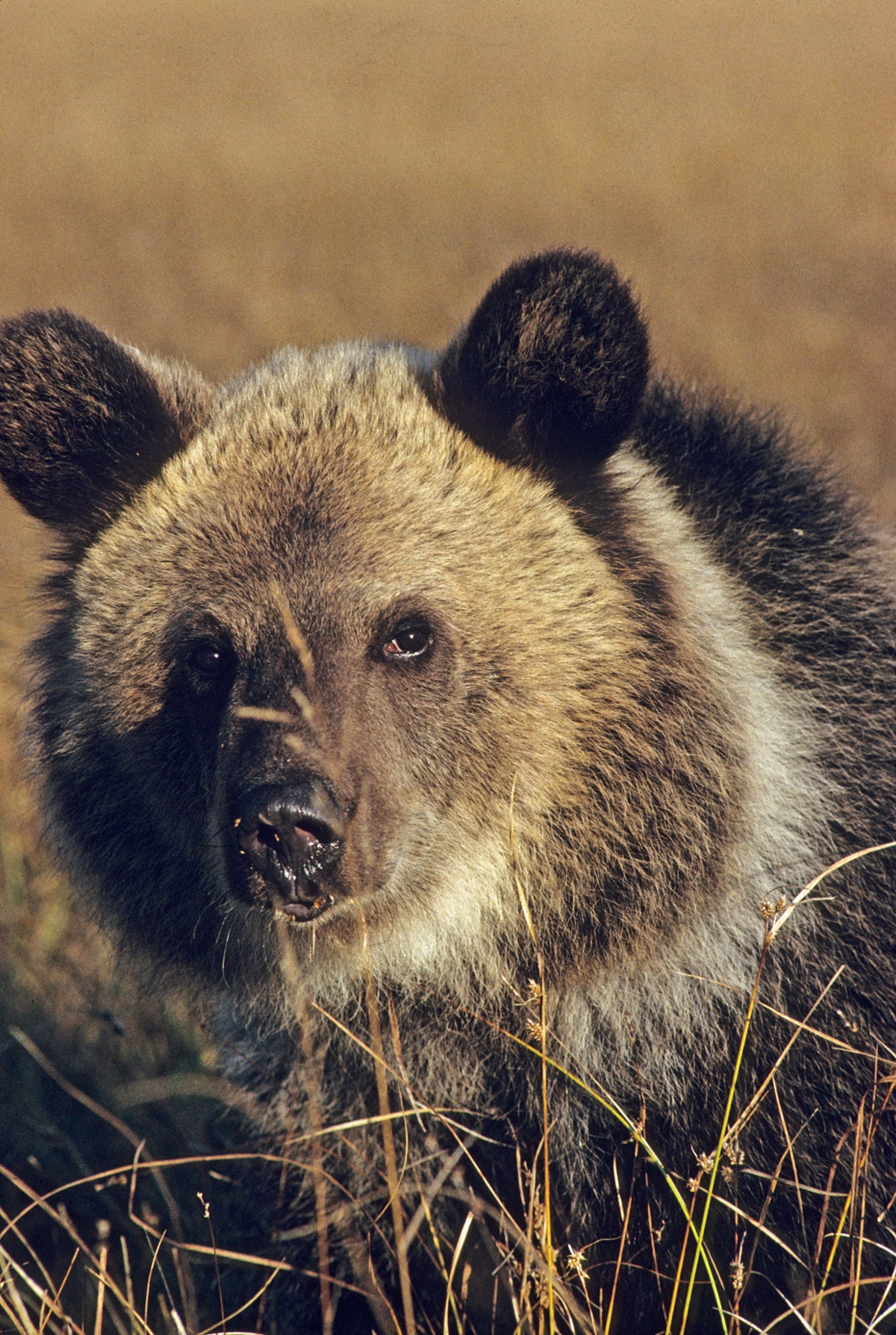 "Adult grizzly bear with the distinctively ""dished"" face and round ears"