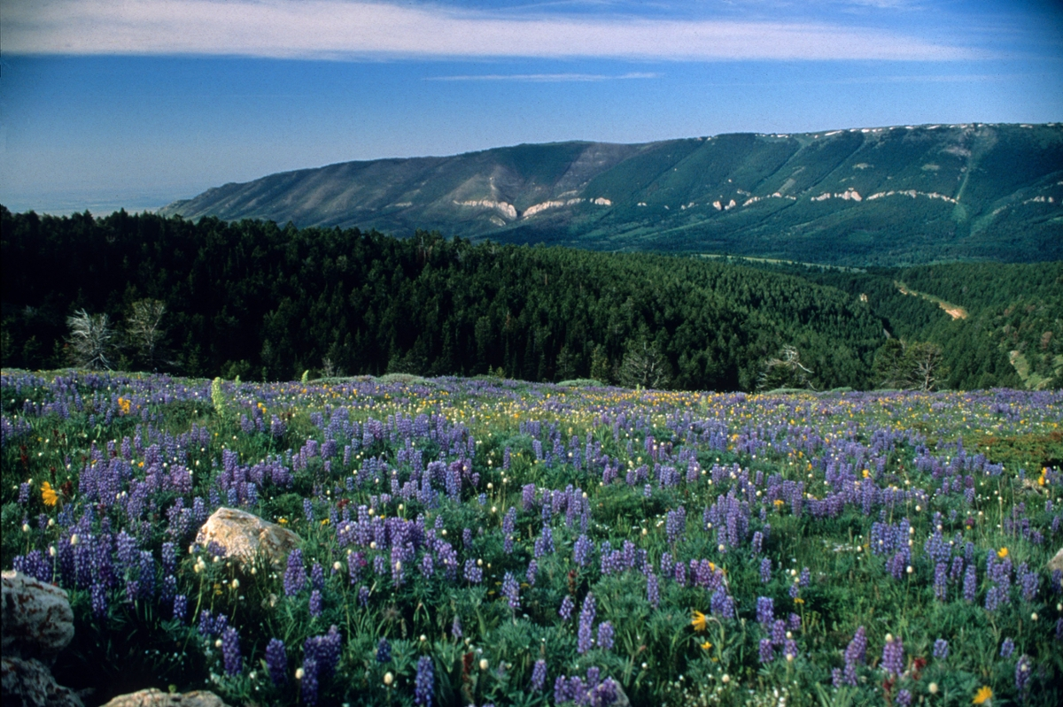 Wildflowers bloom in the Pryor Mountains