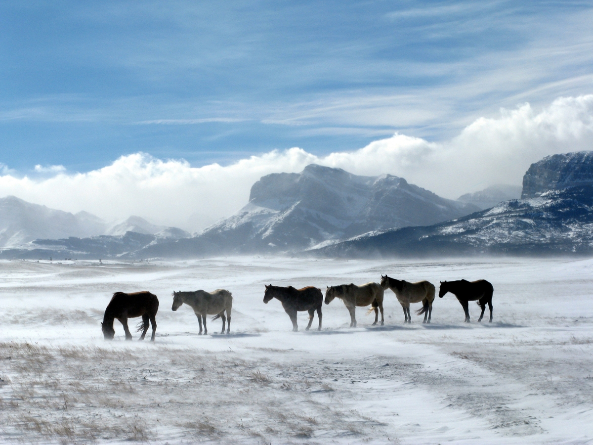 : At the start of winter, horses brave a ground blizzard on the Rocky Mountain Front