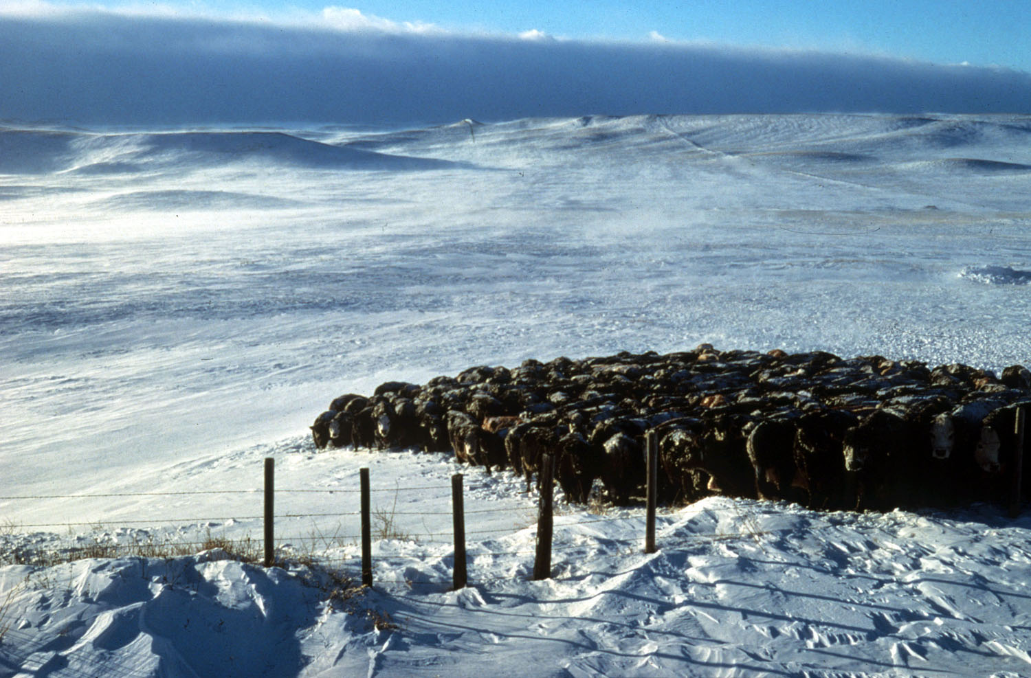 A head of cattle huddle together on the snow-covered, rolling hills on a bright, sunny, and cold winter day