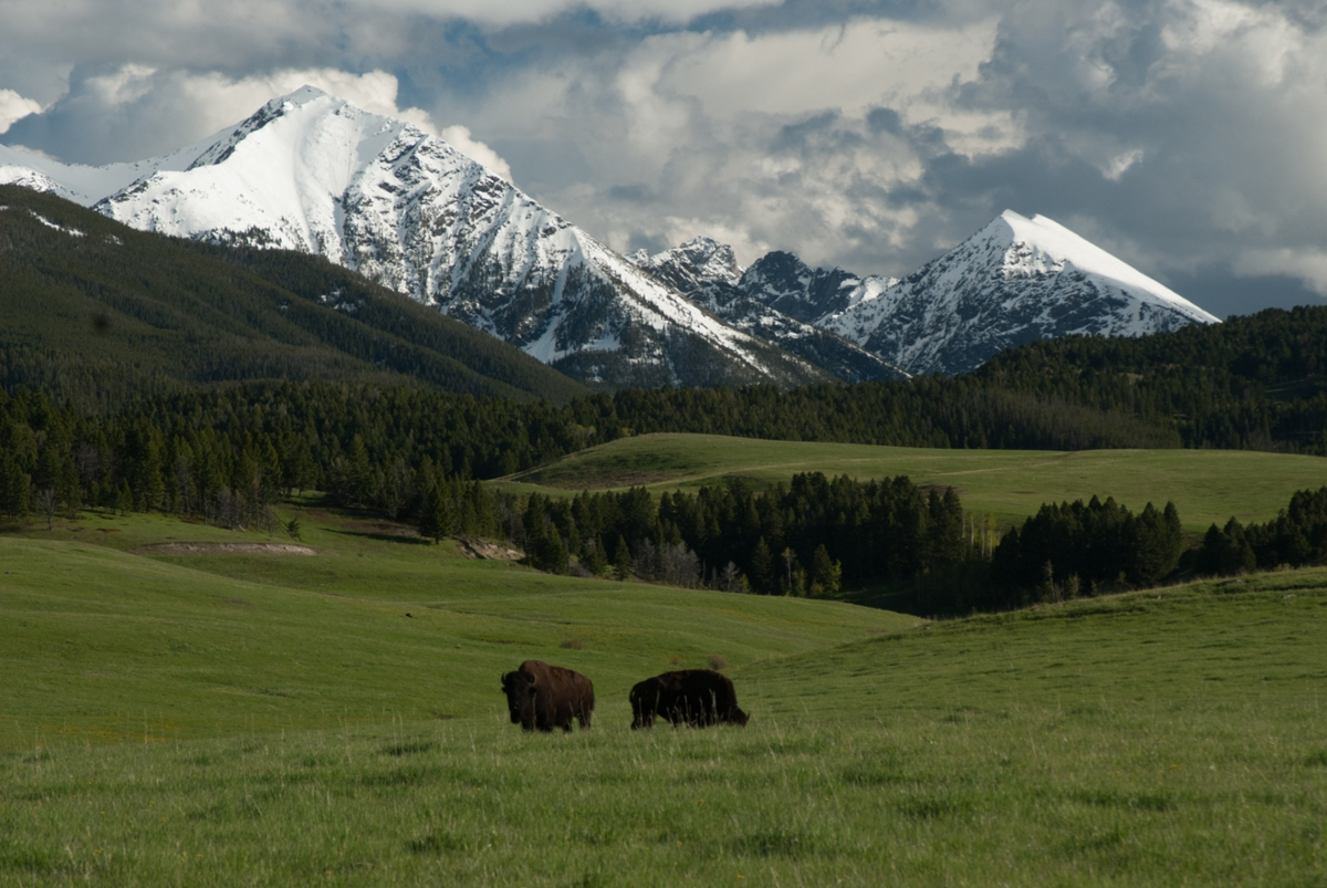 Bison roaming at the base of the snowy Spanish Peaks